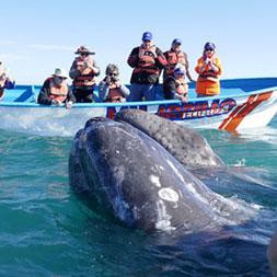 15 Day Baja Whale Watching (15MWWF-031322)
