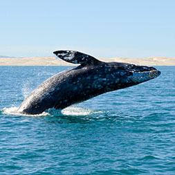 15 Day Baja Whale Watching