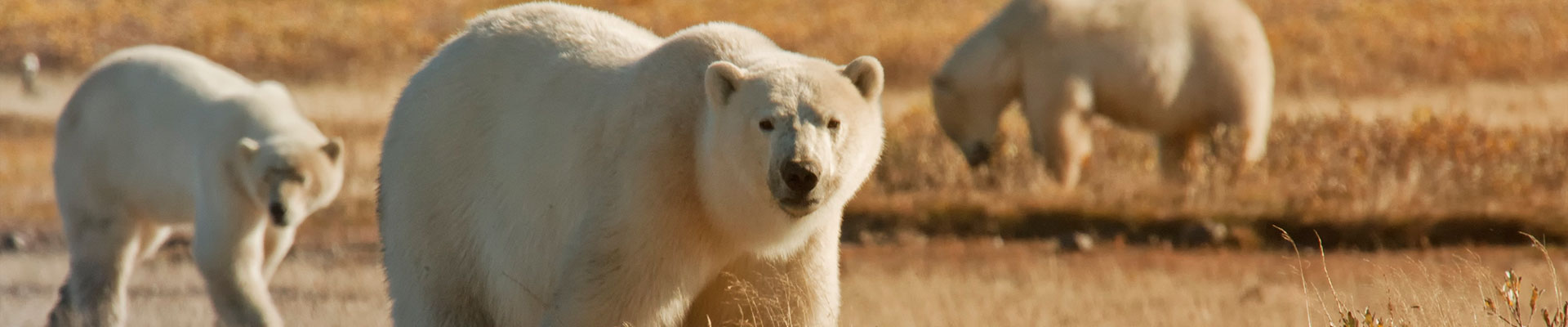 Fantasy RV Tours: 15 Day Polar Bear Migration (15CPBG-092917)